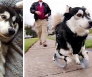 Un chien handicapé court pour la 1ère fois grâce à l'impression 3D
