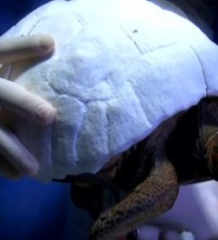 Victime d'un incendie, une tortue reçoit une carapace imprimée en 3D
